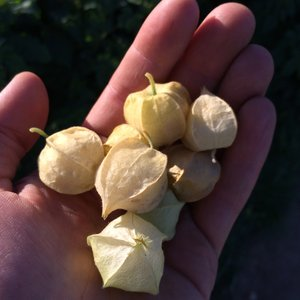 /srv/mudcreek/media/ground_cherries.JPG